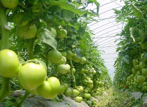蔬菜作物施肥时的注意事项